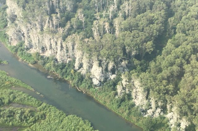 Заболевшие деревья зафиксированы на реке Абакан.