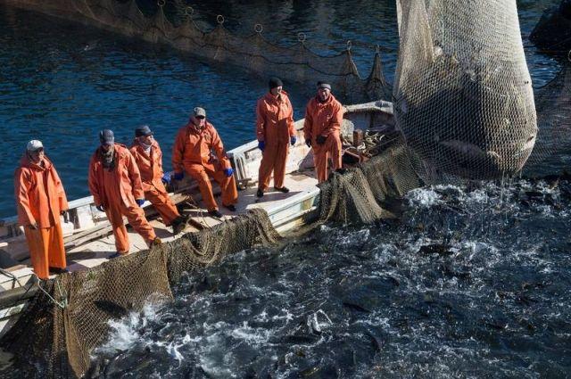 Промысел горбуши на северо-восточном побережье Сахалина начался 30 июля и должен был продлиться до 31 августа.