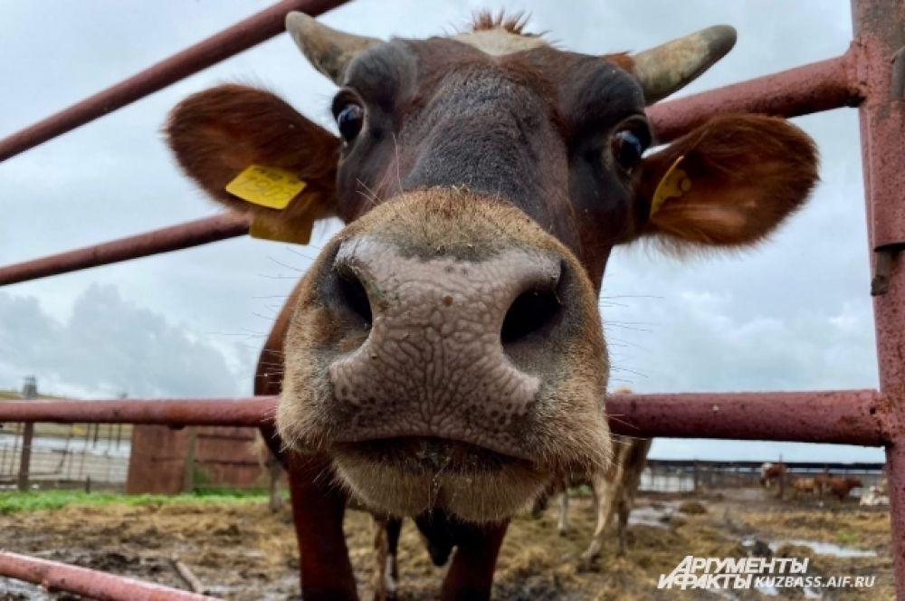 Сыроварня считается предприятием полного цикла, то есть производство сыра проходит все стадии, начиная с выращивания кормов животным.