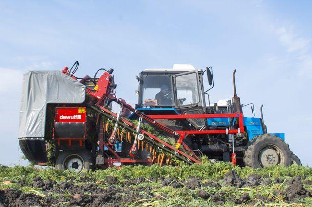 В этом году начала уборки моркови на полях ждут с особым волнением.