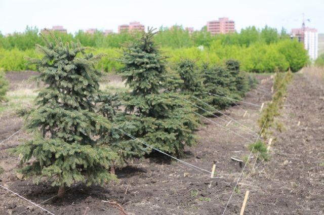 В Красноярском крае за последние 5 лет динамика лесовосстановления увеличилась в два раза.