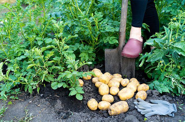 Пойдём копать картошку! Как правильно выбрать сорта-скороспелки