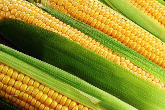 Золотые кочаны. Польза и вред кукурузы и особенности сортовых «скороварок»