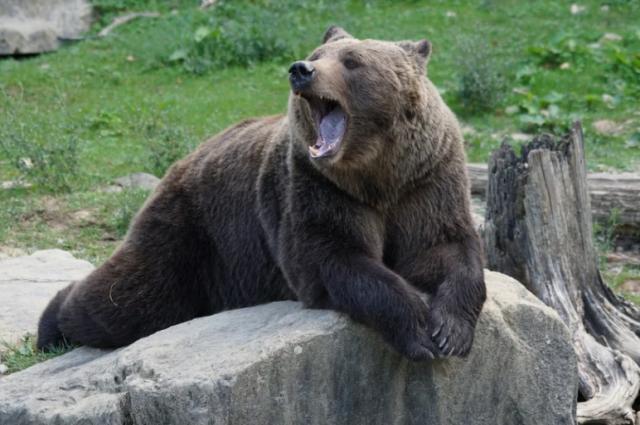 Как признаются местные гиды, это не первая вылазка медведя к популярному маршруту.