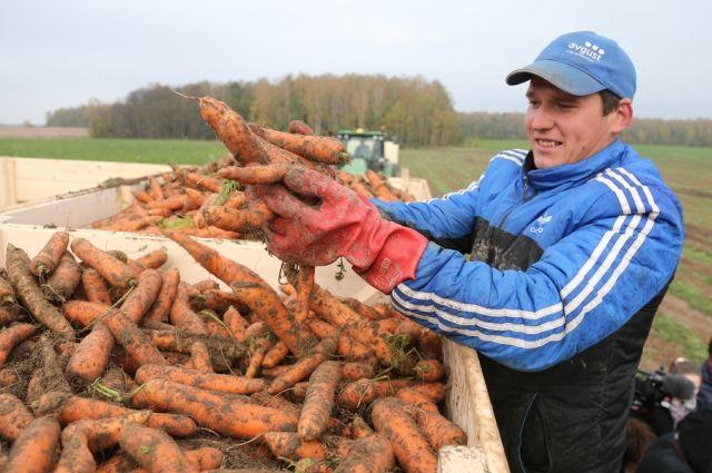 Сохранить морковь свежей можно будет на весь год.