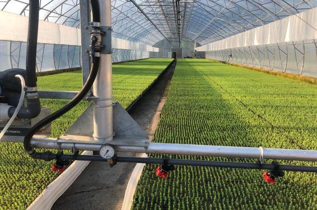 Сегодня выращивают более 6,5 млн штук сеянцев.