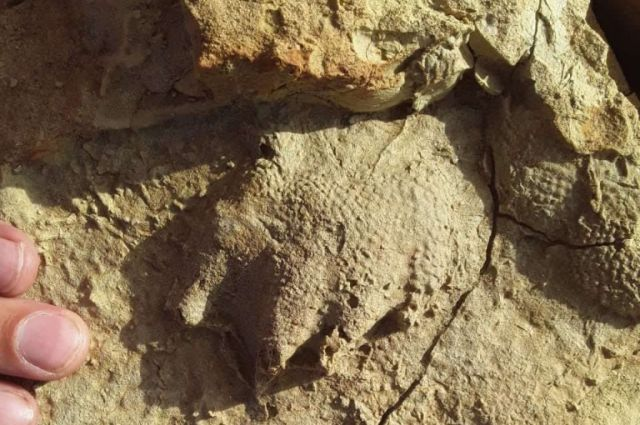 В Бузулуке найдены останки расчлененнопозвонкового лабиринтодонта.