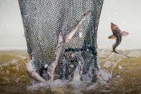 В Югре несколько лет реализуется проект по восстановлению ценных видов водных биоресурсов