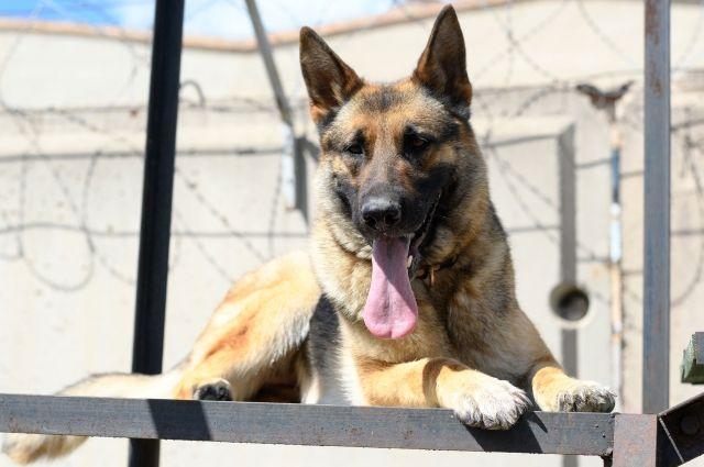Шесть щенков прибудут в УФСИН России по Оренбургской области.