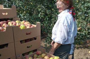 В крае начался массовый сбор яблок