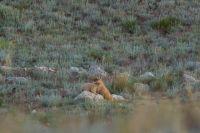 В степях Оренбуржья сурки не торопятся в зимнюю спячку из-за аномально жаркого лета.