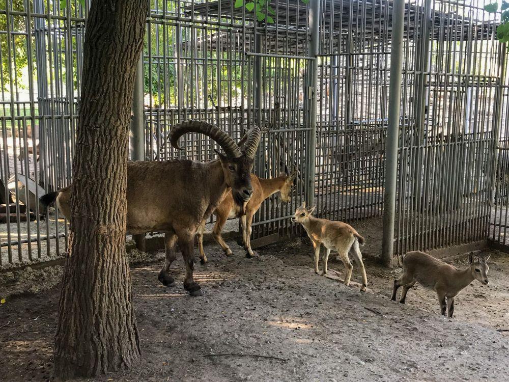 Семья европейских диких муфлонов. Этот вид сохранился только на островах Сардиния и относится к видам, близким к уязвимому положению.