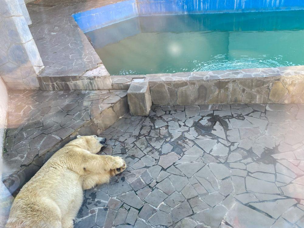 Белые медведи в среднем живут 25-30 лет. В течение всей жизни самка приносит на свет всего около 10-15 детёнышей. Белая медведица весит около 200-300 кг, а самец достигает 400-450 кг.