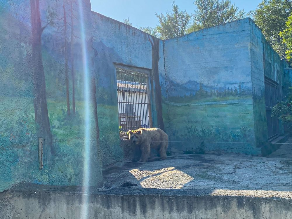 Бурый медведь в среднем весит 350-450 кг. Он живёт 25-35 лет. Этот вид находится под угрозой и занесён в Красную книгу.