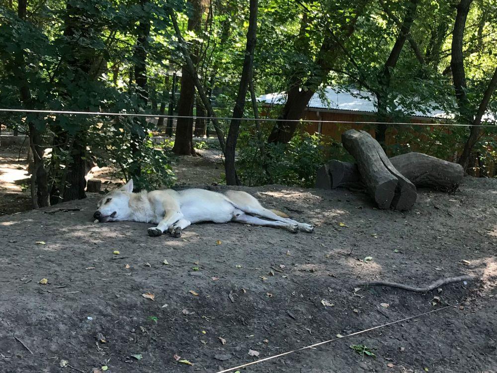 В зоопарке также можно встретить вот такого спящего красавца-волка.