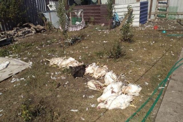 В поселке 9 Января бродячие собаки загрызли у хозяйки 26 бройлерных куриц.