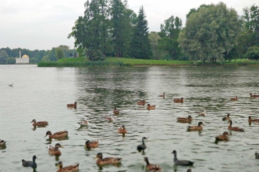 Пруд в центре Екатерининского парка - самый крупный из водоемов города Пушкина (около 16 га). Был вырыт в начале XVIII века и заполнен водой из когда-то протекавшего здесь ручья Вангази.