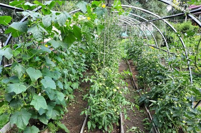 Состояние растений в конце июля.