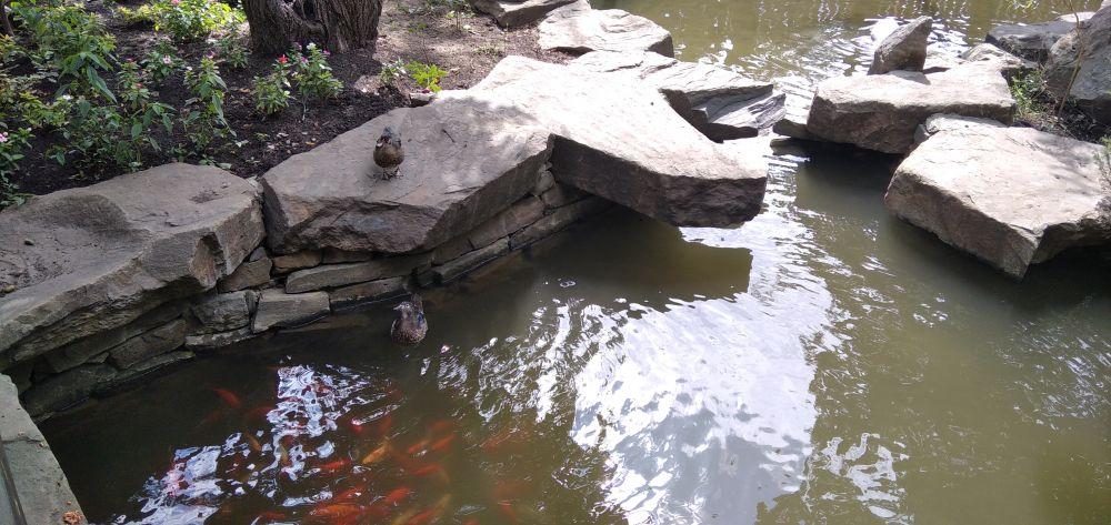 Утки и яркие рыбки плавают вместе.
