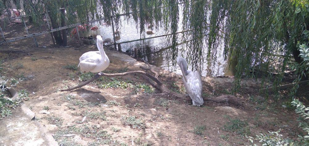 Пеликаны отдыхают, чуть дальше - розовые фламинго.
