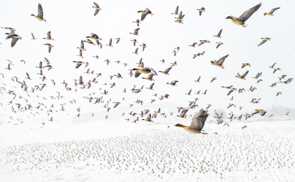 Гран-при конкурса и титул фотографа года завоевал Терье Колаас (Terje Kolaas) за фото короткоклювых гуменников, прилетевших в зиму вместо весны. Снимок сделан в Норвегии