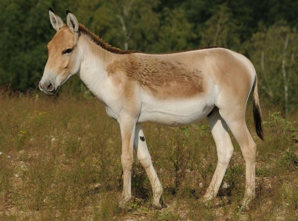 Кулан (Equus hemionus). Вид, принадлежащий к семейству лошадиных – кулан, внешне больше напоминает осла. Несмотря на внешние особенности, с лошадьми вид также имеет множество схожих черт. Второе название кулана, которое используется не менее часто, полуосёл или кианг. В переводе название также обозначает мула. Во времена СССР был распространён по всем степным территориям. Пострадал от изменения климата и в результате хозяйственной деятельности человека, вынудившей животных отступить в менее благоприятные места