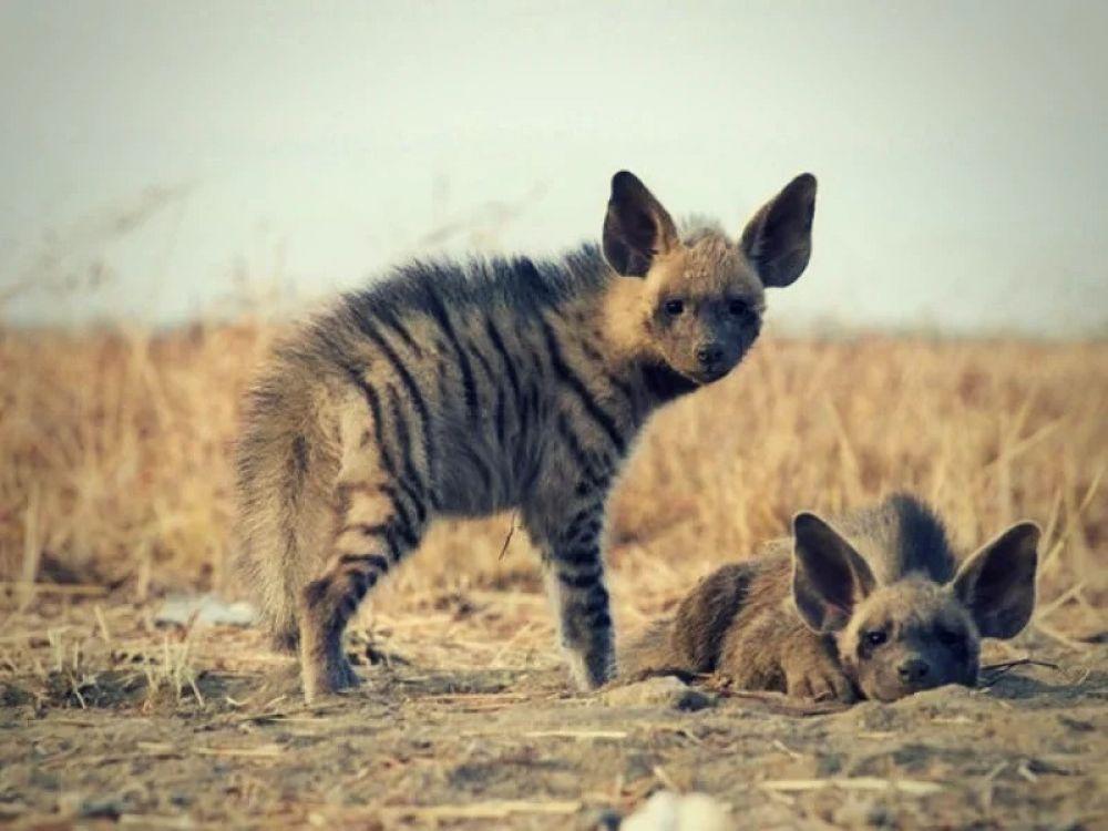 Полосатая гиена (Нyaena hyaena). Полосатые гиены обитали в Закавказье. Последний раз люди встретили взрослую особь в Дагестане в 1953 году
