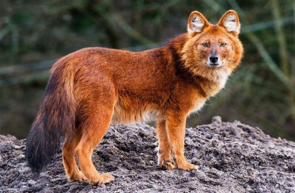Красный волк (Cuon alpinus). Идеальное место для красного волка – ущелья и территория возле скал. В России обитал в центральных азиатских районах - в пустынных и степных местностях. Встречался на Алтае. Экологи считают, что красных волков вытеснили более сильные серые. Негативное влияние на популяцию хищных млекопитающих оказало освоение людьми главных мест обитания животных. Неблагоприятным фактором также стало скрещивание хищных особей с домашними собаками