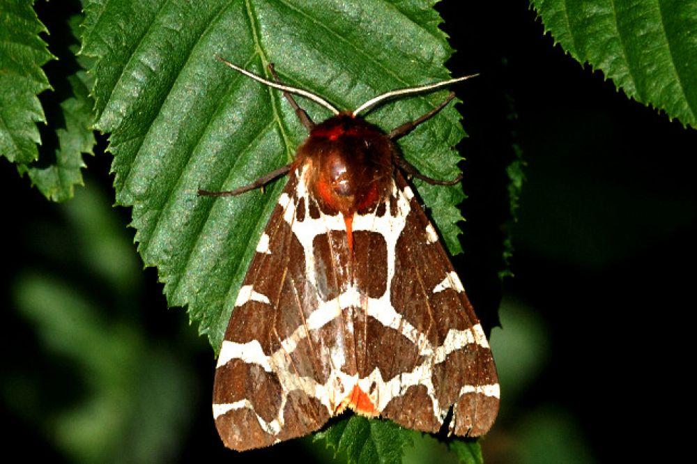 Соматрихия Ротшильда (Somatrichia parasita rothschildi), бабочка из отряда чешуекрылые, подотряда хоботковых. В России есть похожие — 73 вида подсемейства Arctiinae, 66 - Lithosiinae, 11 - Syntominae. На фотографии: бабочка медведица-кайя (Arctia caja)