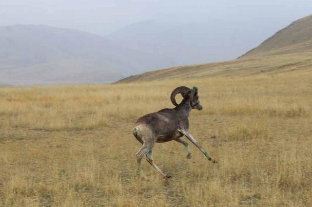 Аргали родились в неволе от специально пойманных на Алтае горных баранов