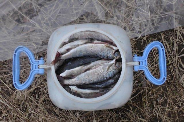 Красноярские учёные выяснили, что разводимый в искусственных условиях хариус не нуждается в подкормке морской рыбой.
