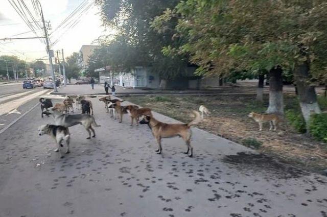 Ставропольцы жалуются на агрессию бездомных животных