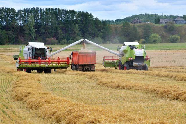 Колхозы стали отказываться от посева ржи после падения цен.