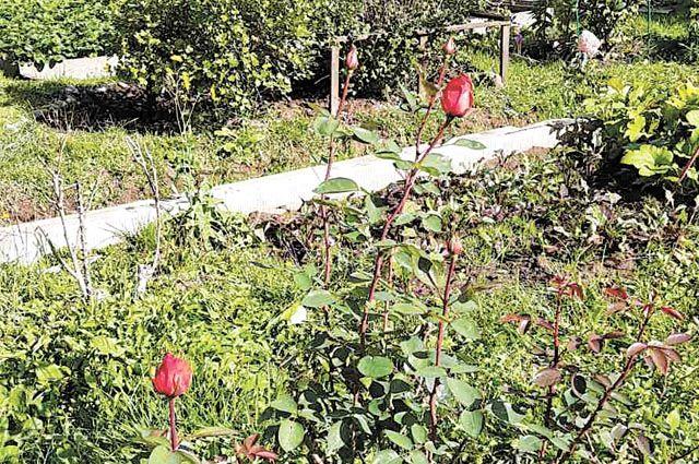 Многие сорта роз прекрасно чувствуют себя в уральском климате.