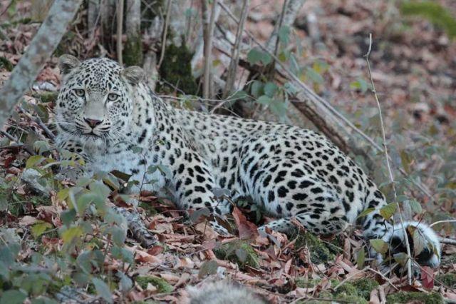 В Северной Осетии выпустили трёх леопардов