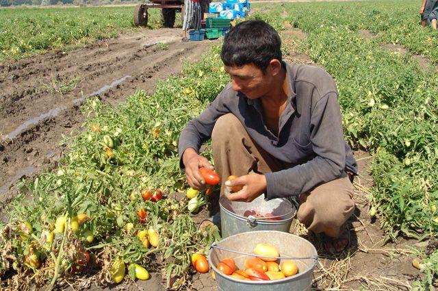 Гастарбайтеры из Средней Азии относятся к ручному труду на полях с максимальной ответственностью.