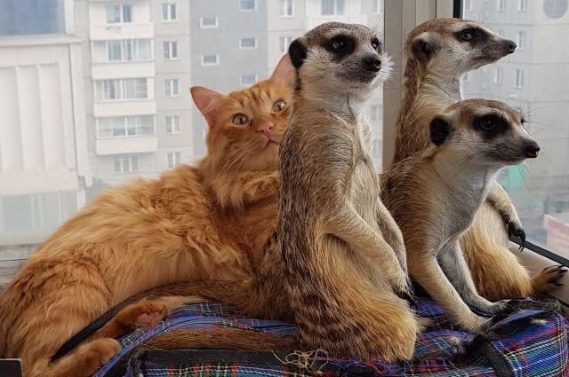 Эти зверьки с удовольстием смотрят телевизор, особенно, когда показывают «Короля льва»..