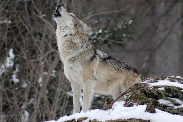 В этом году утверждённое для отстрела число волков – 270 особей.