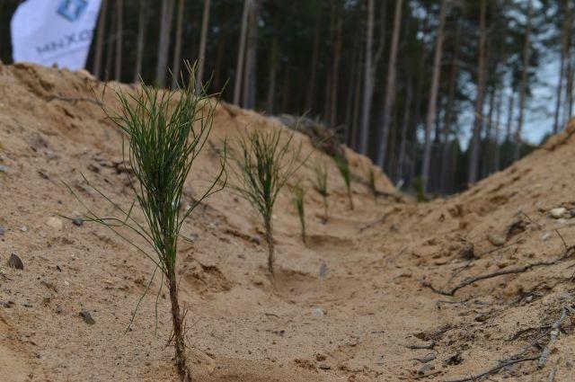 Усольский калийный комбинат компании «ЕвроХим» до конца 2021 года посадит 1,5 млн саженцев ели и сосны на 530 га прикамских земель