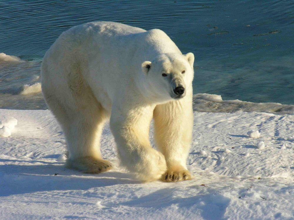 Полярный медведь. Сегодня миру известны восемь видов медведей, и их места обитания – это Азия, Южная и Северная Америка, Европа. Самые страшные представители, имеющие внушительные размеры тела и свирепые повадки – это бурый и полярные медведи. Большинство медведей считаются всеядными, но есть исключение – полярный медведь. Это плотоядное животное, употребляющее в пищу только животных, не боится человека и не имеет врагов. Полярный медведь способен развивать скорость порядка 60 км/час