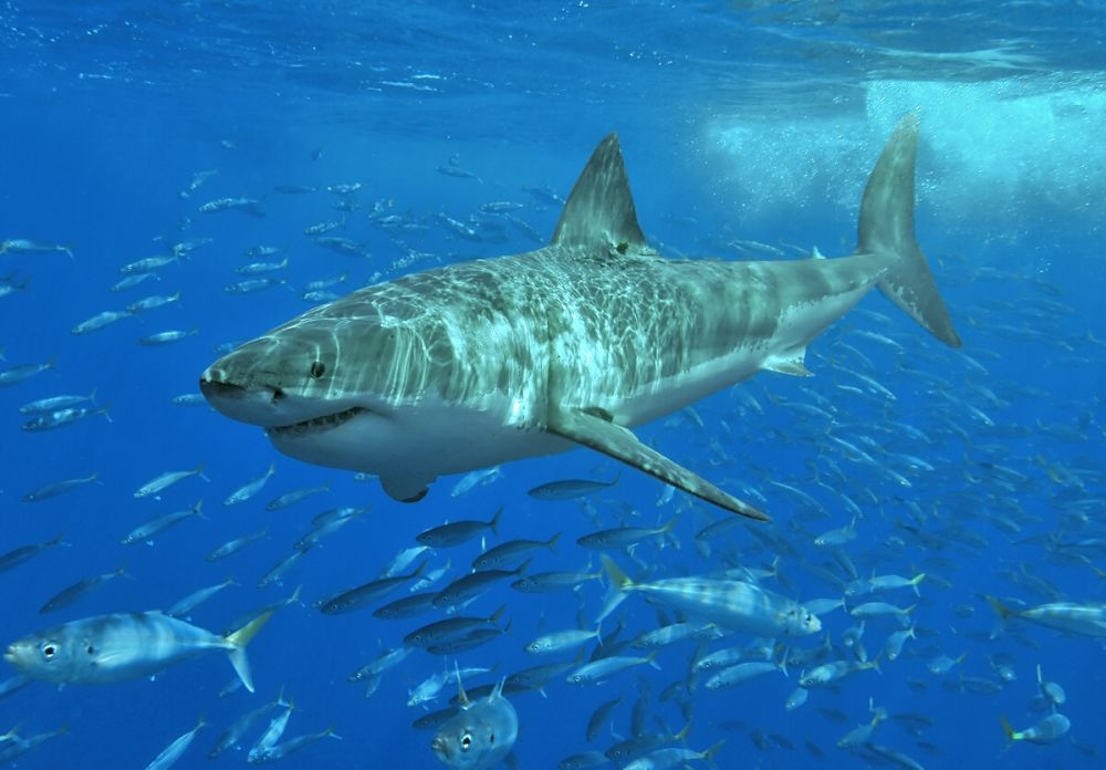 Большая белая акула. На морских просторах не найти более страшного хищника, обитающего во всех открытых водах нашей планеты, за исключением Северного Ледовитого океана. В группе риска беспечные пловцы, серфингисты, дайверы и потерпевшие крушение в открытом океане. Большая белая акула входит в десятку самых больших акул в мире. Её длина 4.6-4.8 метра, но встречаются особи, достигающие 6 метров величины