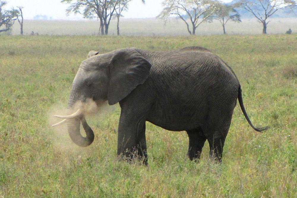 Африканский слон. Слон обладает отличным слухом и обонянием, и наиболее опасен в период брачных игр, так как уровень тестостерона возрастает в 60 раз. От слонов ежегодно гибнет от 500 до 600 человек. При атаке слон защищает себя или свою семью. Этот гигант может принять человека за опасность, если тот подойдёт слишком быстро или, например, окажется между детёнышем и матерью