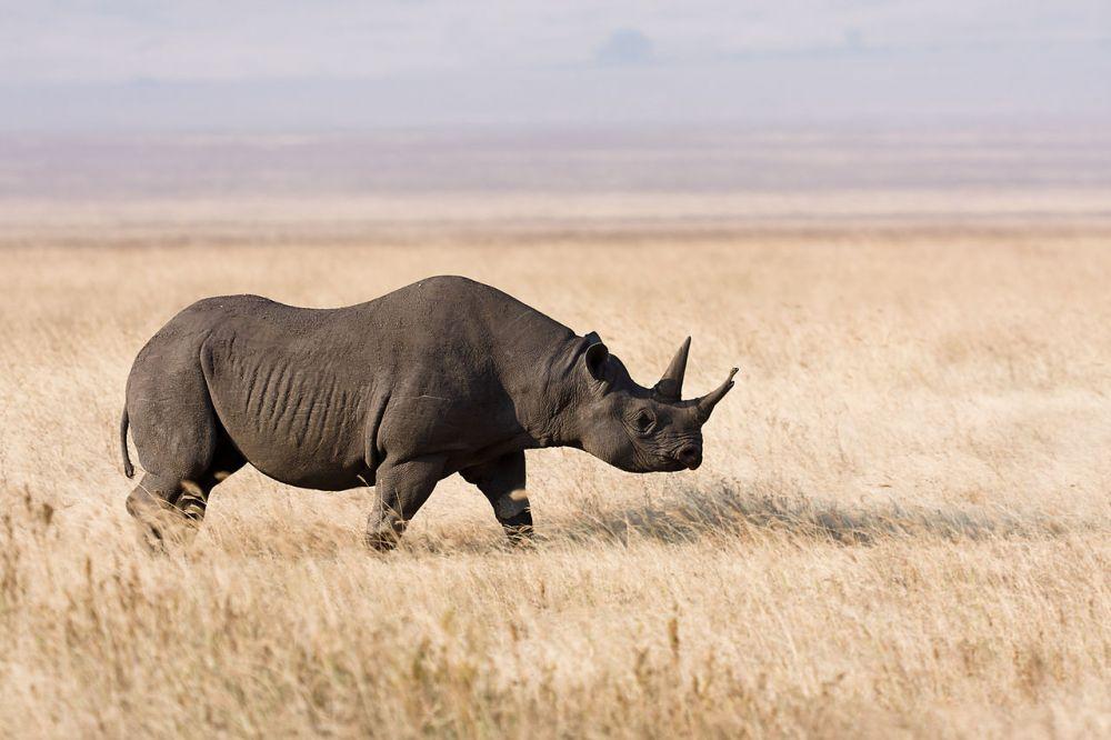 Носорог обладает прекрасным слухом и обонянием. Трёхтонный самец чёрного носорога ничего не видит уже на расстоянии 7 метров. Зато имеет длинный и острый рог. Это смертельное оружие он готов пустить в ход против любого противника, который оказывается у него на пути