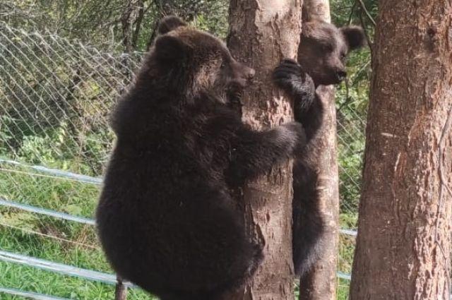 В сентябре сотрудники Алтайского биосферного заповедника выпустили в дикую природу трех медвежат