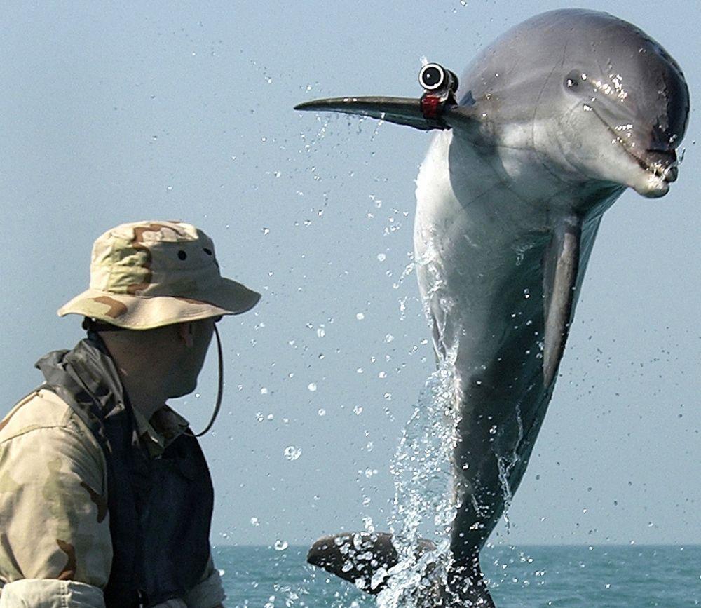 Боевые дельфины — это дельфины, обученные в военных целях. Инструкторы учат дельфинов защищать границы. Они умеют раскрывать шпионов-лазутчиков, находить потерянные на дне моря торпеды и обнаруживать мины