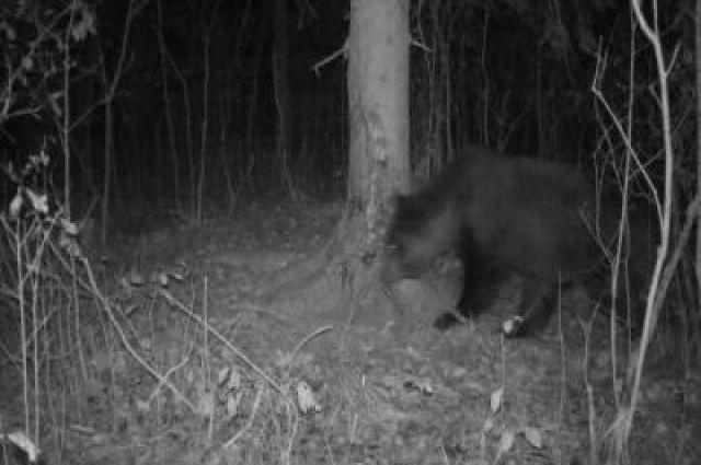 Фотоловушка зафиксировала медведя, который подошел к кабаньим чесалкам в Окском заповеднике.